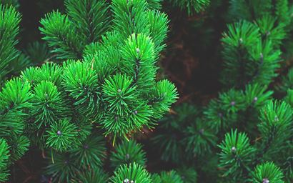 Close up of branches and needles on a pine tree