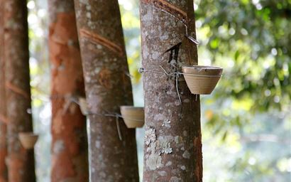 Row of rubber trees with cuts for tapping and bowls underneath