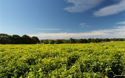 A tea plantation in South Africa.