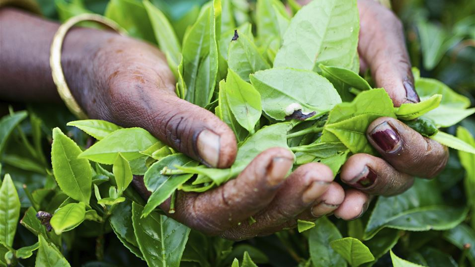1. Woman holding tea leaves from a plantation in India