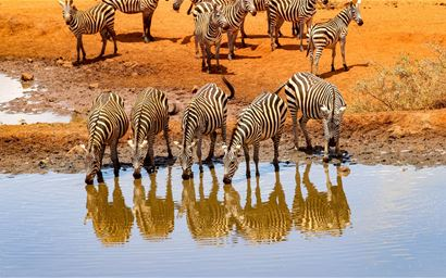 zebra drinking from a watering hole in Kenya on safari.
