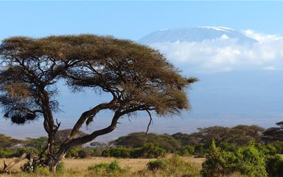 My Kilimanjaro with tree in foreground