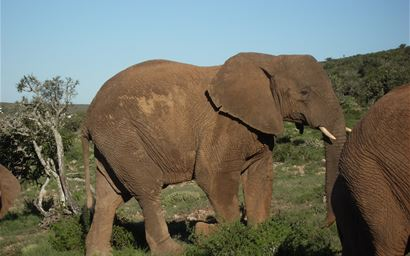 African elephants, South Africa