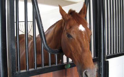 A horse in stable in Qatar