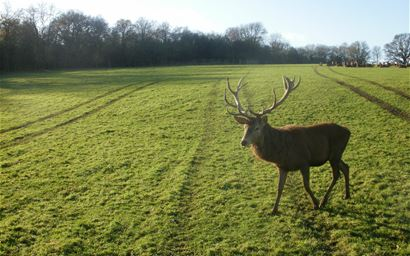 A red deer stag, Berkshire, UK