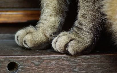 Two front feet of cat