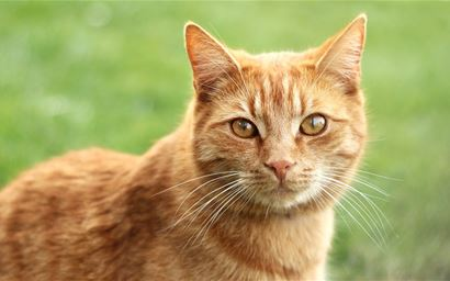 Red-haired tomcat