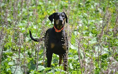 Doberman in a field