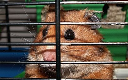 A pet hamster in a cage