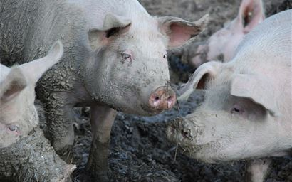 Group of muddy pigs