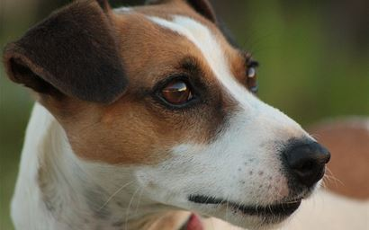 A Jack Russell terrier.