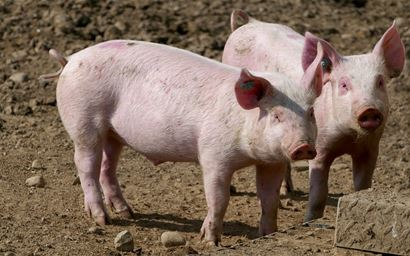 Two pigs on a farm