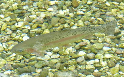 A rainbow trout in shallow water