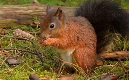 A red squirrel eating nuts