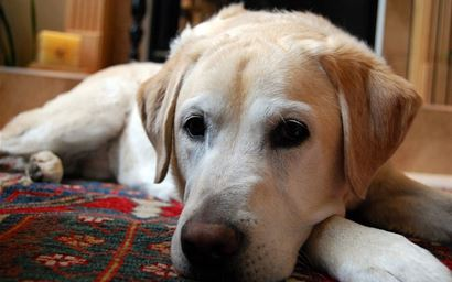Labrador Retriever dog lying on a rug.