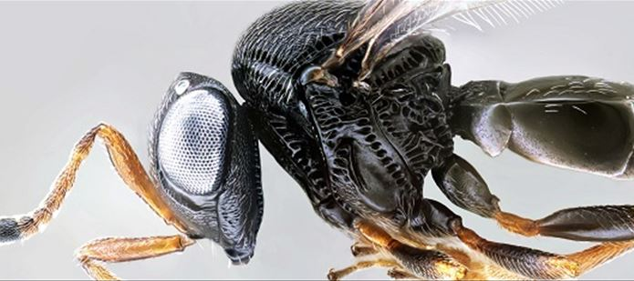 CABI scientists make first discovery of the Asian samurai wasp Trissolcus japonicus in Europe – the end of the stink bug invasion?