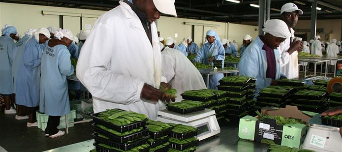 Vegetable exports from Ghana resume after work to improve phytosanitary system
