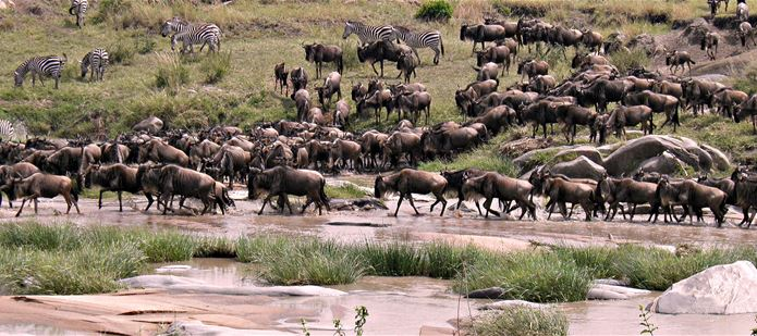 Invasive plants to devastate annual wildebeest migration