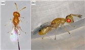 "Leptocybe invasa (blue gum chalcid); natural enemy, the parasitic wasp, Megastigmus viggianii. (Hymenoptera: Torymidae). (a) dorsal view of female;  (b) lateral view of male.  From: (2016). ""Parasitoids of the eucalyptus gall wasp Leptocybe invasa (Hymenoptera: Eulophidae) in China"". Parasite 23: 58. DOI:10.1051/parasite/2016071. ISSN 1776-1042."