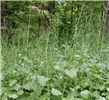 Alliaria petiolata (garlic mustard); invasive habit, showing mature plants with green seedpods. USA.