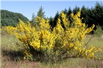 Cytisus scoparius (Scotch broom); flowering habit. Oregon, USA. June 2011.