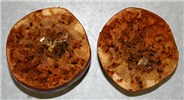 Cross section of apples damaged by larval stages of Rhagoletis pomonella.