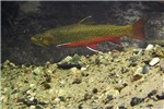 Salvelinus fontinalis (brook trout); spawning in Shaws Creek, Ontario, Canada.