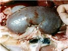 Enlarged dark red renal lymph nodes, petechial haemorrhages in the renal cortex and perirenal oedema.
