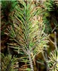 Mycosphaerella dearnessii (brown spot needle blight); symptoms on Pinus mugo (mugo pine).