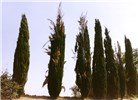 A row of Cupressus sempervirens trees, some of them severely affected by canker disease, showing dieback of branches and death of the tree tops. Island of Kos, Greece, 1986.
