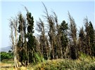 A row of windbreak Cupressus sempervirens trees in a windy valley (Karistos) of the island Euboea, Greece, devastated by S. cardinale in 1988.