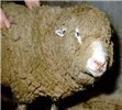 Sheep with bluetongue showing facial oedema.