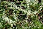 Anredera cordifolia (Madeira vine, mignonette vine, uala hupe); flowers. Poko, Maui, Hawaii, USA. October, 2001.