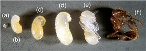 Solenopsis invicta (red imported fire ant); development of worker ant from eggs (a) larval stages or instars (b-d), pupa (e), and adult (f).