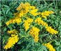 Solidago gigantea (giant goldenrod); typical bright yellow inflorescences.