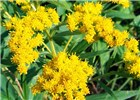 Solidago gigantea (giant goldenrod); close-up of typical bright yellow inflorescences.