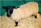 Cover for Suffolk sheep
