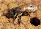 Varroa destructor (Varroa mite); an adult worker honey bee (Apis mellifera) with two Varroa mites on its thorax.