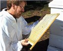 Varroa destructor (Varroa mite); entomologist Jeff Pettis examines a screen that separates live Varroa mites from bees, thus reducing mite levels in honey bee colonies.
