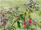 Symptoms of the presence of A. fuchsiae on Fuchsia.  Deformation of the leaves, gall and reddening.