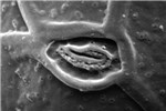 Scanning electron micrograph of A. minutum: detail of the apical pore complex, showing a distinctive hook-shaped pore.