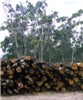 Logs for firewood in foreground, shelterbelt under coppice management in background. Victoria, Australia.