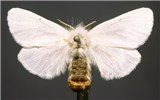 E. chrysorrhoea adult: set specimen of the brown-tail moth (female).