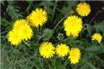 Flowering dandelion (T. officinale).