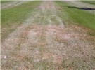 E. orientalis damage symptoms in turfgrass.