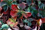 Severe leaf scorch in strawberry plants in the field, causing numerous leaf blotches and reddish, purplish discolouration, curling and brown (scorched) appearance of the most severely affected leaves.