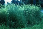 Mission grass has become an important roadside weed - seen here in Fiji.