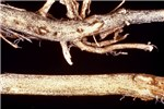 Root (top): a reddish-brown discoloration occurs in the vascular tissues of the taproot. Black streaks are found in the woody portion of the crown.