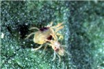 Tetranychus urticae (two-spotted spider mite); adult male (smaller individual) and adult female.