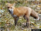 Vulpes vulpes, the Red Fox; adult, USA